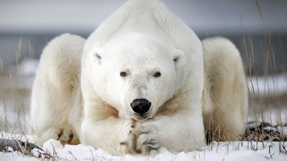 Polar bears are affected by global warming with melting Arctic ice forcing them to spend more time on land where they compete for food