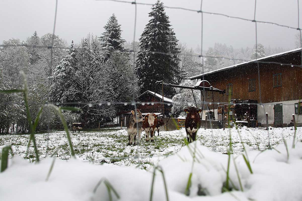 Unseasonable May snow in a paddock in  Schliersee, southern Germany. The Netherlands, France and Switzerland all saw late-spring snow. [Michael Dalder/Reuters]