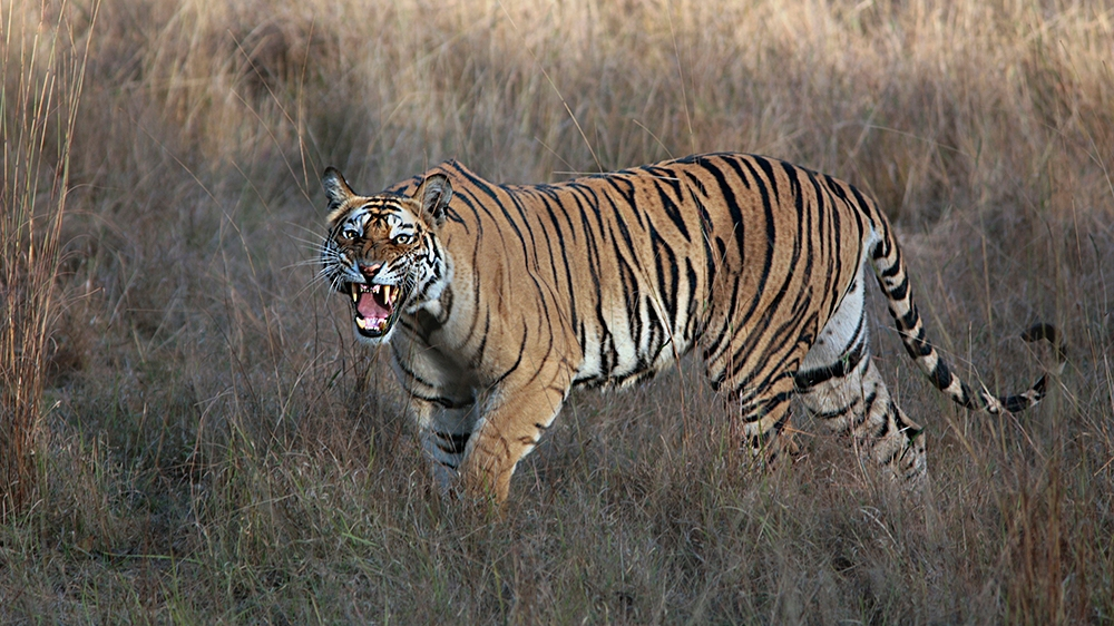 The Royal Bengal Tiger in Bandhavgarh National Park, Madhya Pradesh, India. (Photo by: IndiaPictures/Universal Images Group via Getty Images)