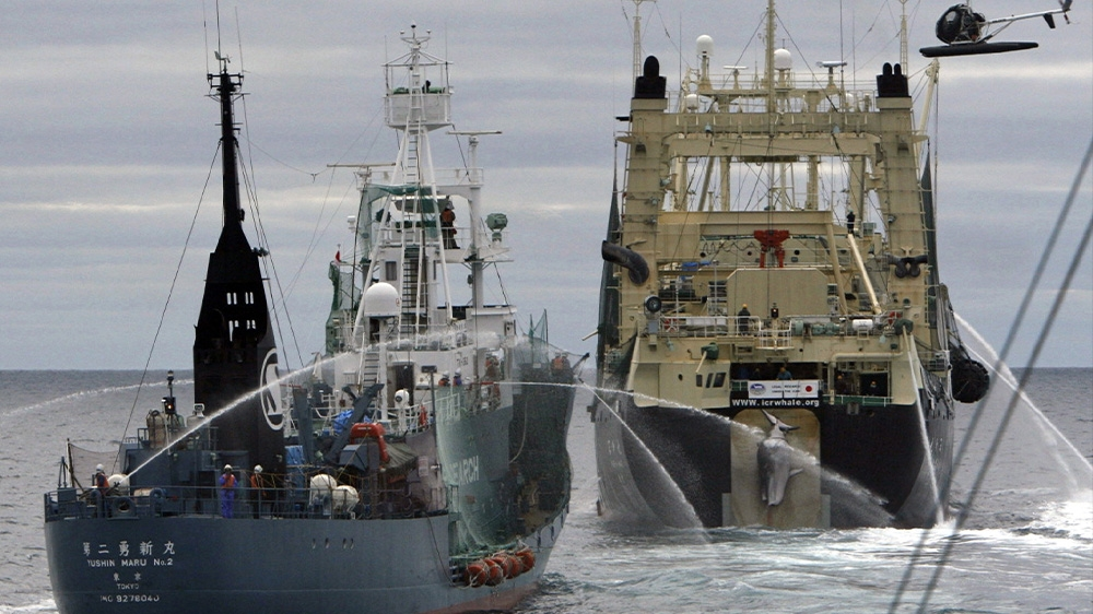 Japan Resumes Commercial Whaling But Its Days Could Be