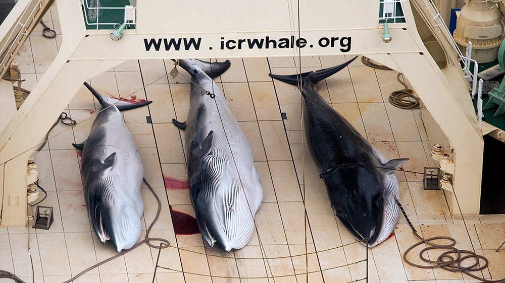 Japan resumes commercial whaling, but its days could be