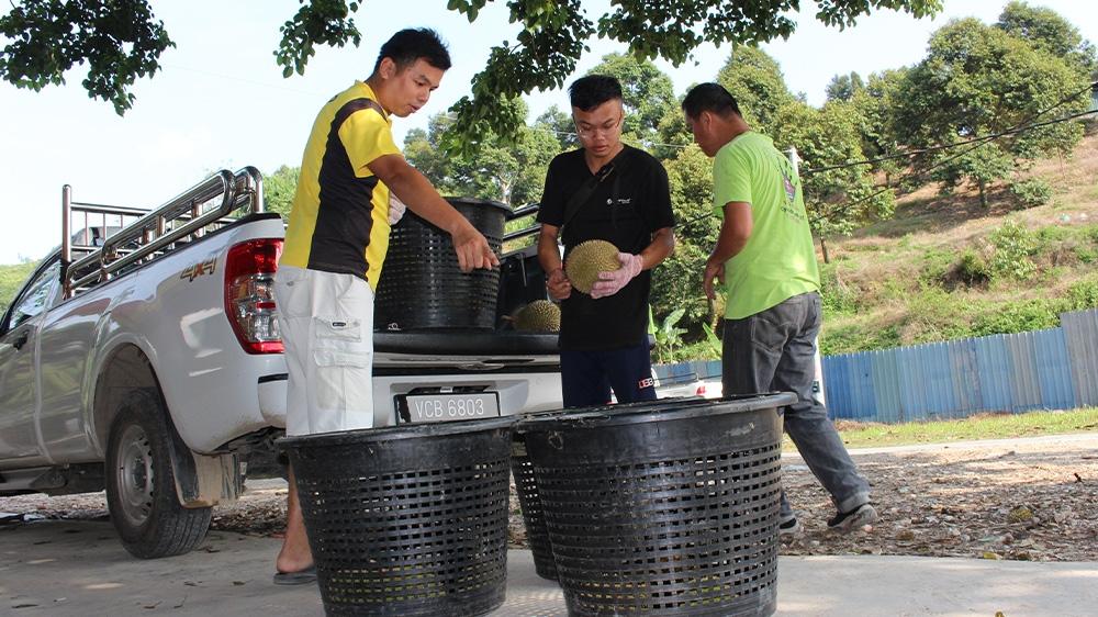 Malaysia Durians