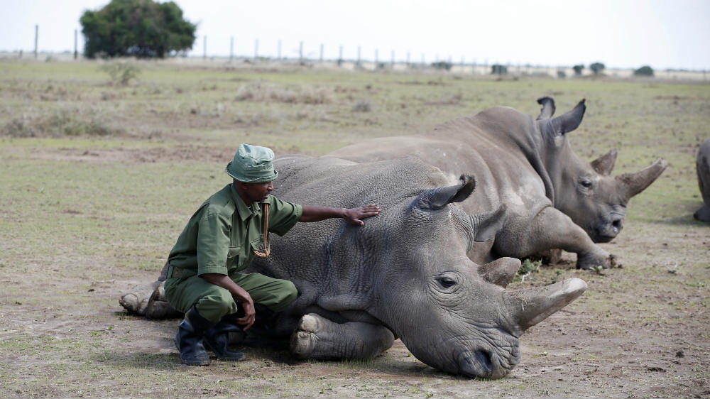 , Scientists create embryos in bid to save northern white rhinos, Travel Wire News |  Travel Newswire, Travel Wire News |  Travel Newswire