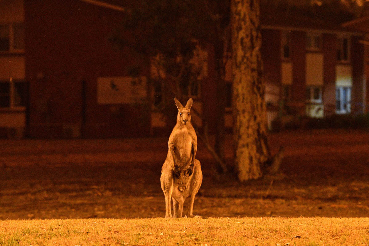 A kangaroo trying to move away from nearby bushfires at a residential property near the town of Nowra in the Australian state of New South Wales. [Saeed Khan/AFP]