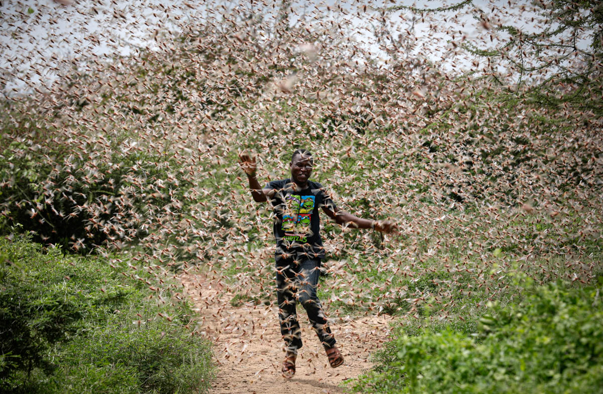 Large swarms of desert locusts have been invading Kenya for weeks after having infested some 70,000 hectares (172974 acres) of land in Somalia which the FAO has termed the 'worst situation in 25 years' in the Horn of Africa. [Dai Kurokawa/EPA]