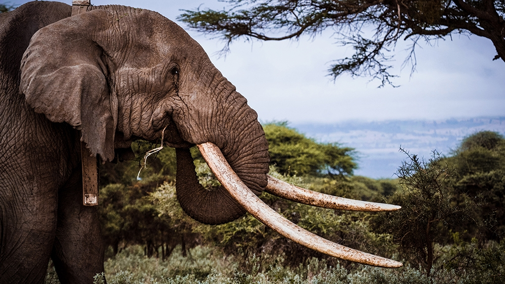 Big Tim One Of Kenya S Last Giant Tusker Elephants Dies At 50