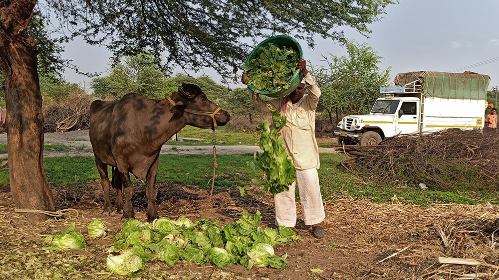A farmer feeds iceberg lettuce to his buffalo during a 21-day nationwide lockdown to slow the spreading of coronavirus disease (COVID-19), at Bhuinj village in Satara district in the western state of