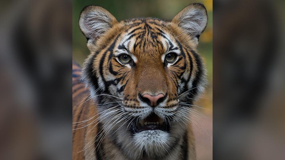 tiger story inside image