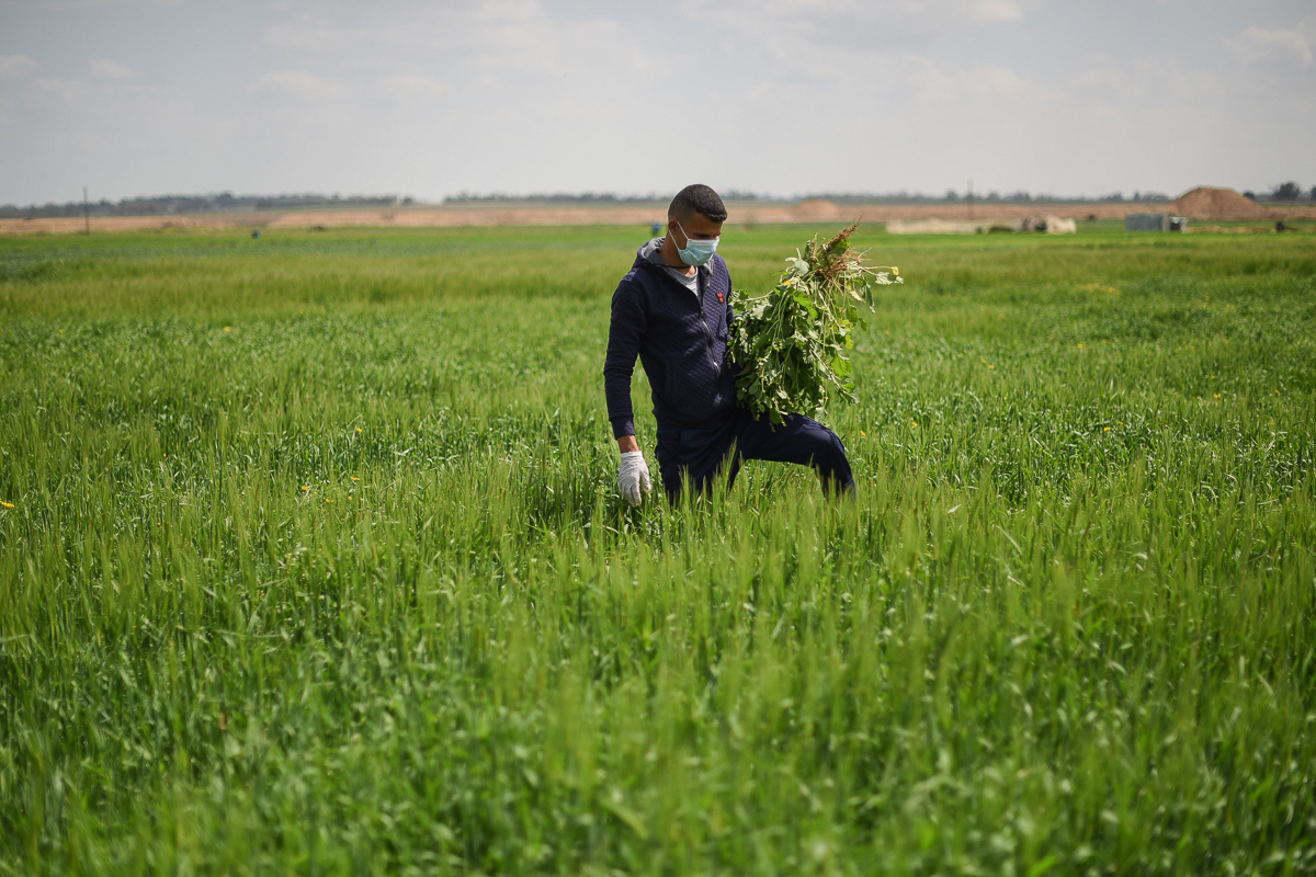 A farmer works on his land near the village of Khuza'a, in the southern Gaza Strip. He wears protective gear even while tending his wheat crops. [Abed Zagout/ICRC]