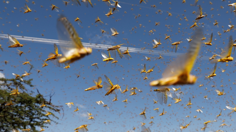 Crops destroyed as India faces 'worst locust attack in 27 years' | India News | Al Jazeera