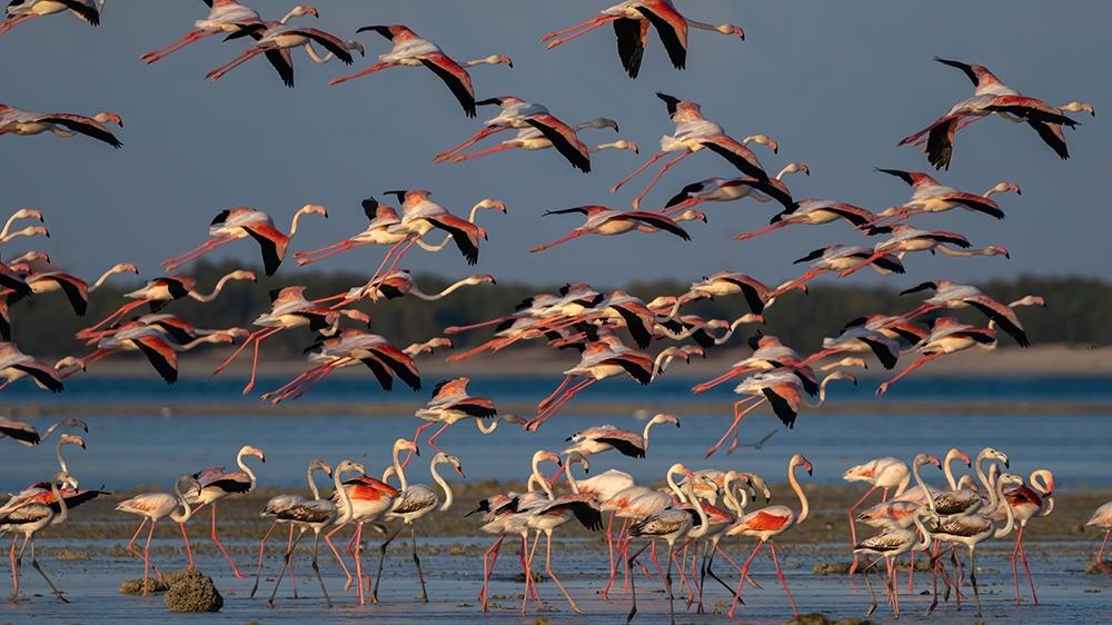 Flamingo birds on Qatar's eastern coast [File:Sorin Furcoi/Al Jazeera]
