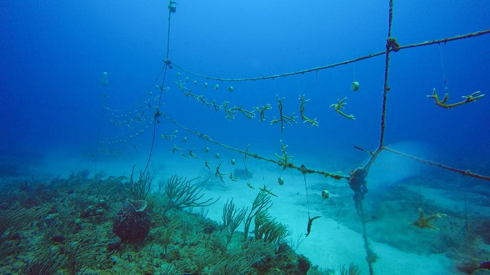 Cuba corals