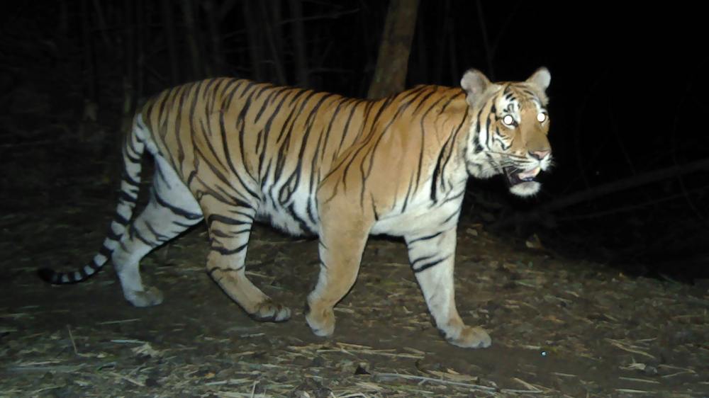 Endangered Tigers Captured on Camera in Thailand Bolster Hope for Species' Survival