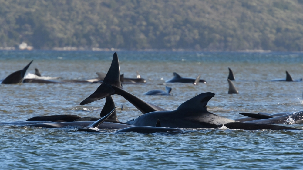 Rescue underway to save 270 whales stranded in Australia