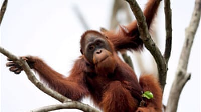 Humans threaten Asia's orangutans