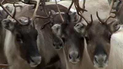 The Last of the Reindeer Herders