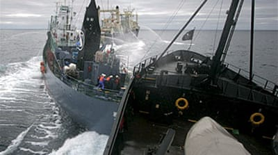 Battered Japanese whalers return