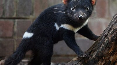 Tasmanian devils now 'endangered'