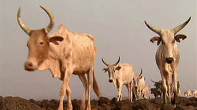 Video: Drought hits Djibouti nomads