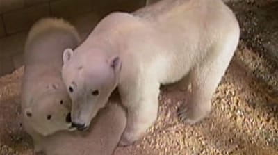 Decline in Canada polar bears