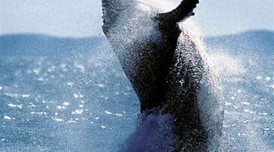 Making the case for 'whale rights'