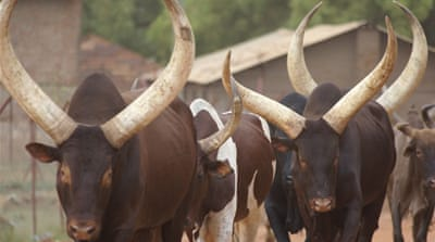 In pictures: Cattle for wealth