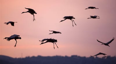 Warm weather, cranes overstay their welcome