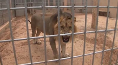 Libyan zoo claws its way out of war