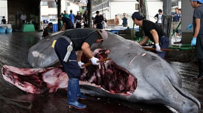 Japan suspends Antarctic whaling