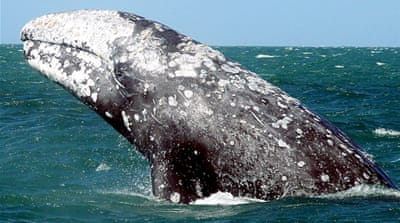 Breaking waves: The story of the grey whales