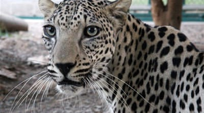 On the trail of the Arabian leopard