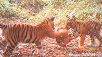 Footage highlights threat to Sumatran tigers