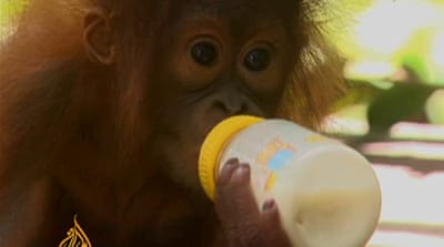 Indonesia's orangutans under threat