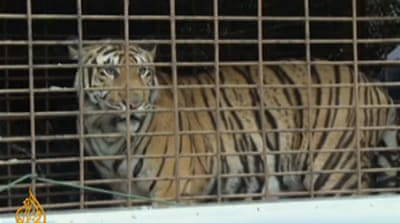 Thailand battles trade in tigers