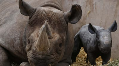 South Africa rhino poaching hits record high