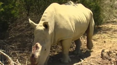 S Africa gives rhino poacher record jail term