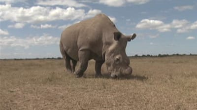 Drones may save Kenyan rhinos from demise