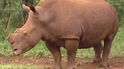 Cutting off poachers through rhino de-horning