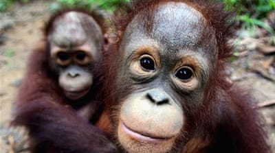 Conservation in focus as survey shows drop in Malaysia orangutans
