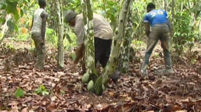 Volatile times for Ivory Coast cocoa farmers