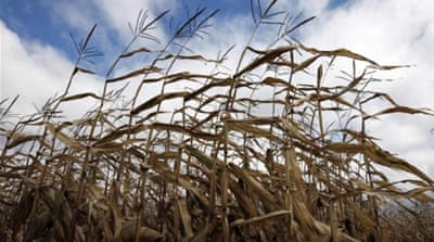 American corn crops at risk from worms