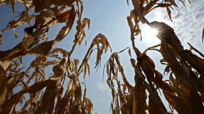 Some scientists say the use of corn for biofuels is exacerbating the food crisis  [Reuters]