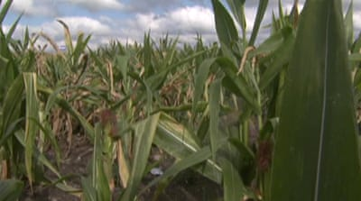 Drought to reduce US corn crop yield