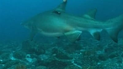 Australia bites back at shark attacks