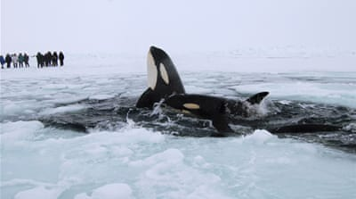 Killer whales trapped under ice in Canada