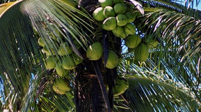 Climate change affects Guyana's coconut farms