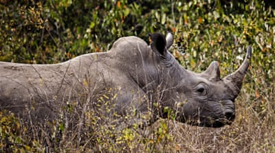 Poaching has risen sharply in Africa in recent years, with rhinos targeted for their horns [AP]