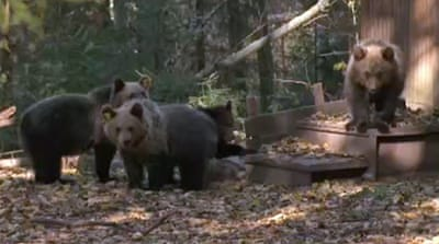 Special treatment for Russia's orphaned bears