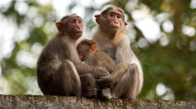 India means business with errant monkeys
