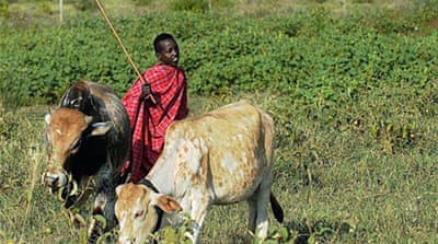 Cow insurance gives Kenyans a greener pasture